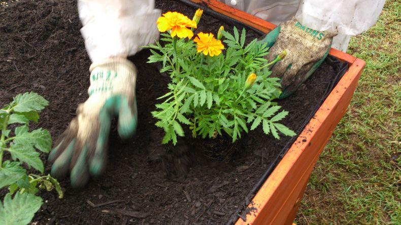 как располагать семена бархатцев при посадке